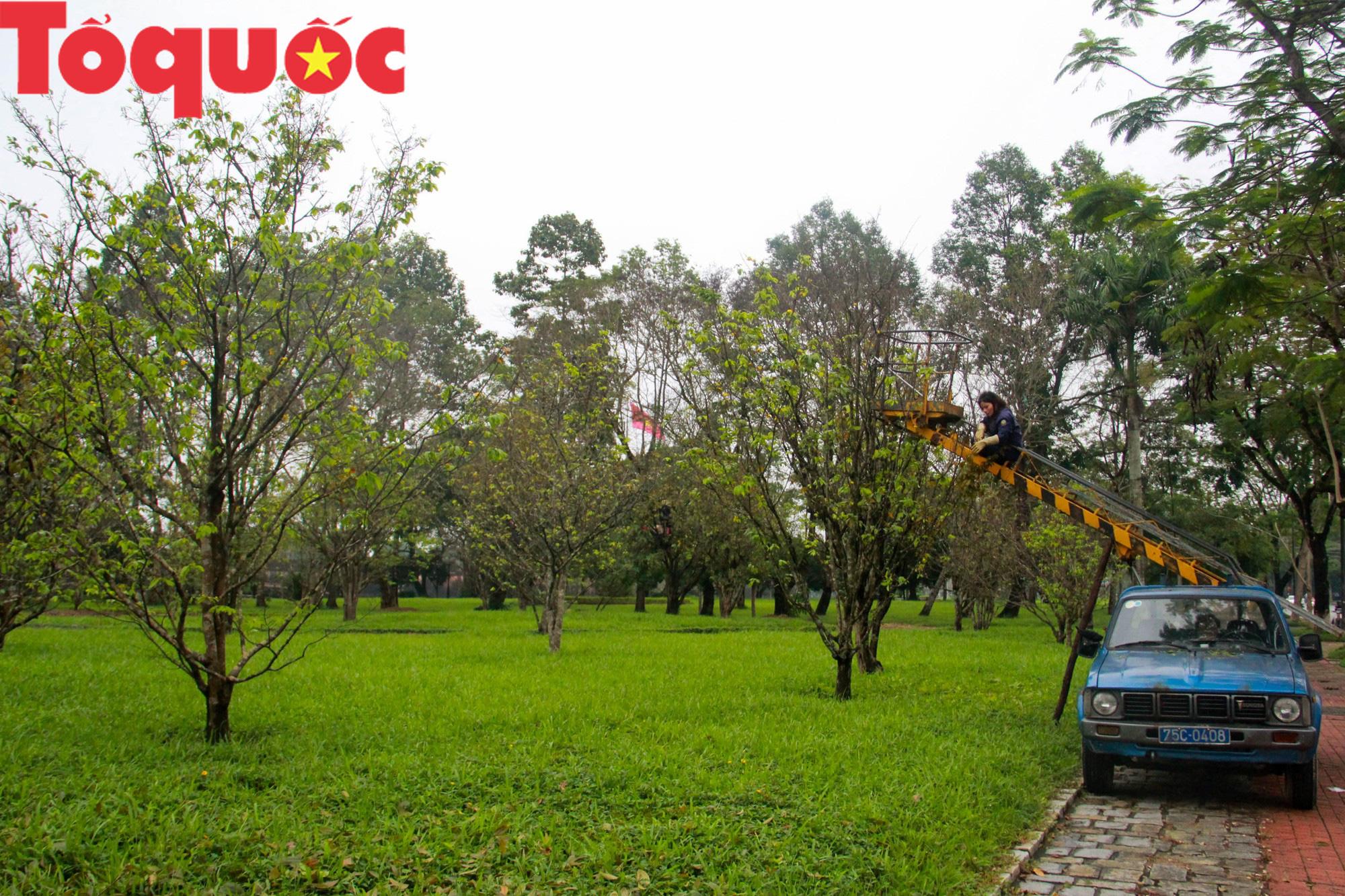 Công nhân nữ đội rét, đu mình trên cây chăm vườn mai khủng trước Kinh thành Huế - Ảnh 1.