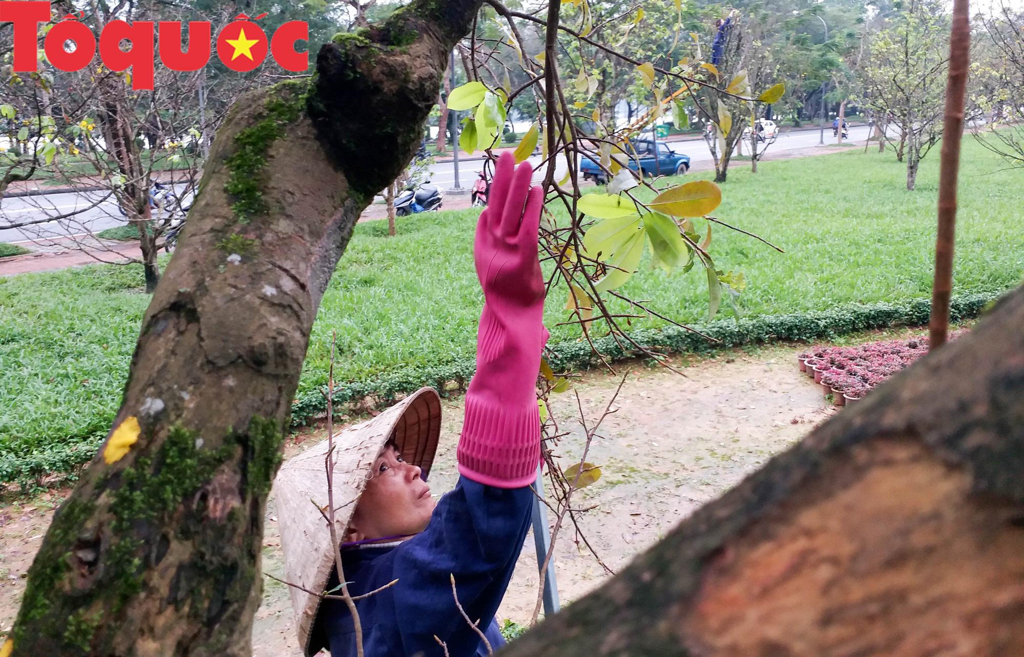 Công nhân nữ đội rét, đu mình trên cây chăm vườn mai khủng trước Kinh thành Huế - Ảnh 6.