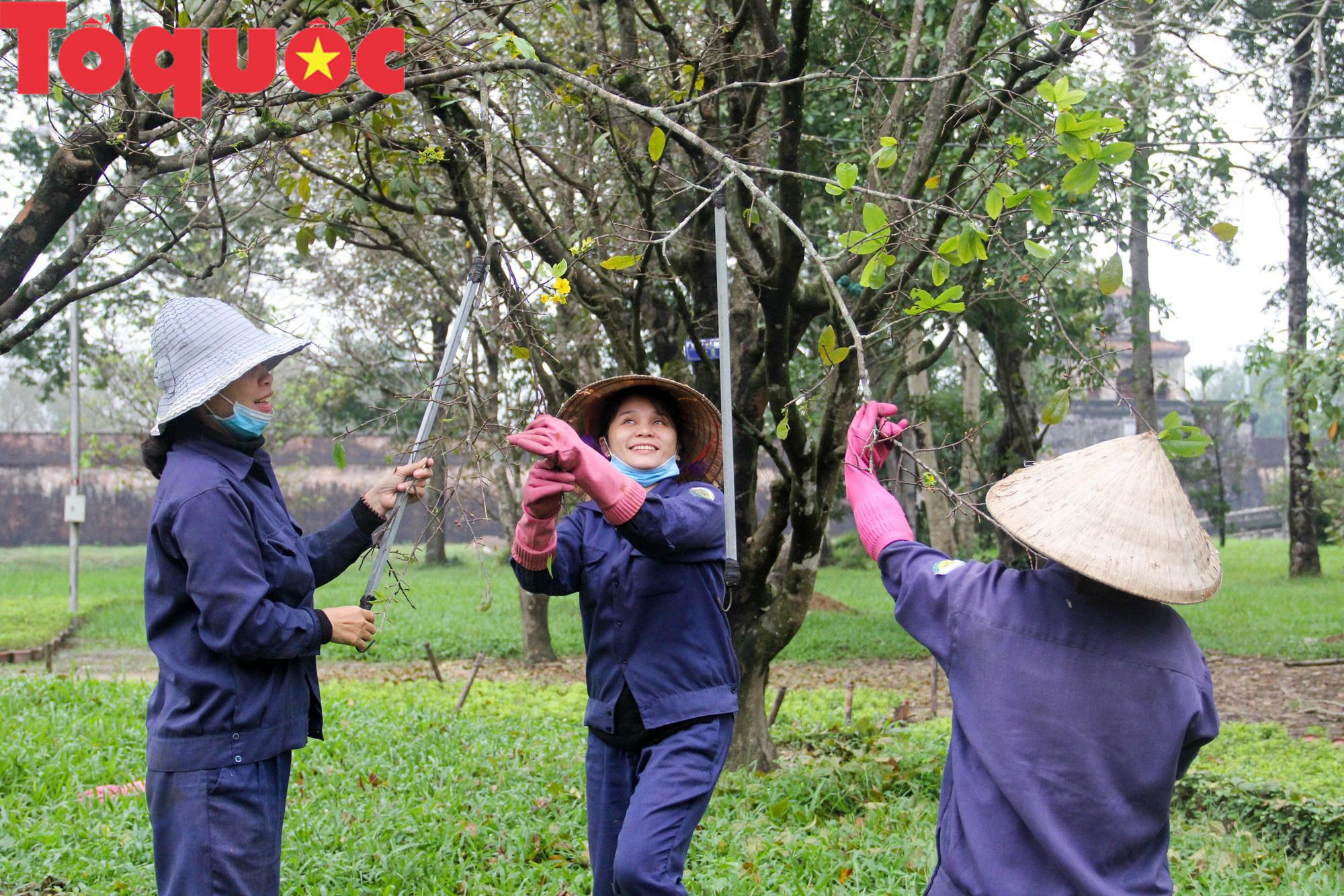 Công nhân nữ đội rét, đu mình trên cây chăm vườn mai khủng trước Kinh thành Huế - Ảnh 4.