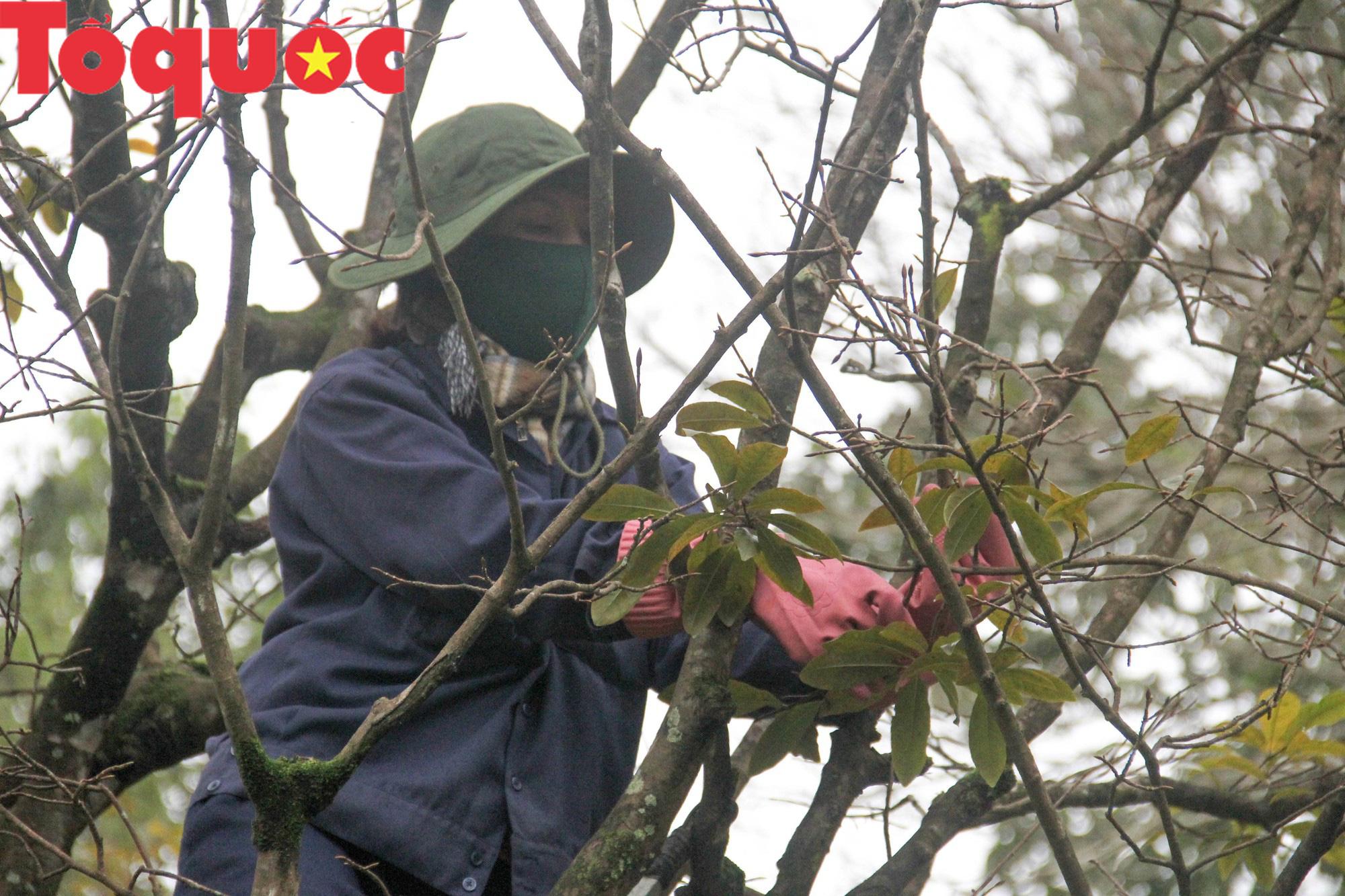 Công nhân nữ đội rét, đu mình trên cây chăm vườn mai khủng trước Kinh thành Huế - Ảnh 2.