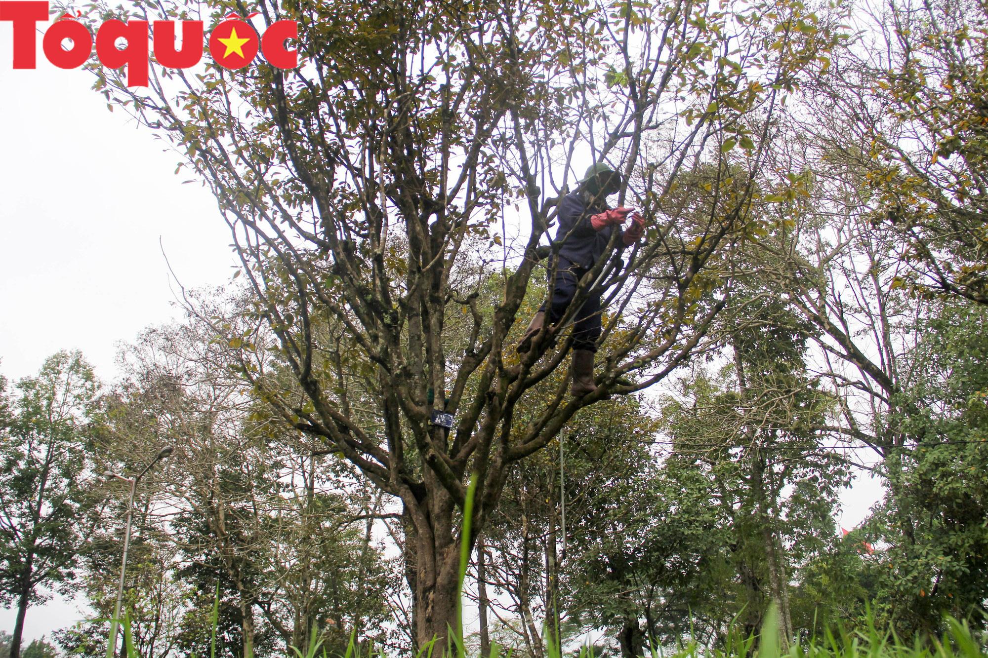 Công nhân nữ đội rét, đu mình trên cây chăm vườn mai khủng trước Kinh thành Huế - Ảnh 7.