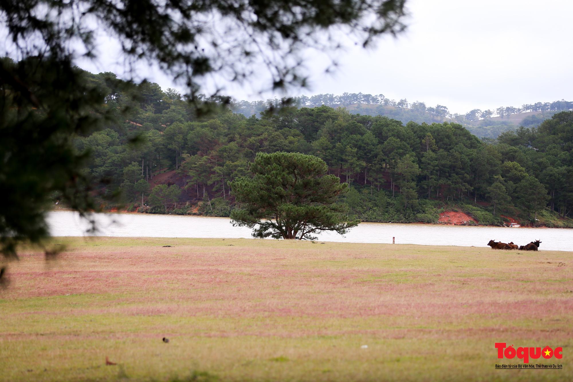 """Đồi cỏ hồng ở Đà Lạt đẹp như tranh sẽ khiến khách du lịch """"mê mẩn"""" - Ảnh 6."""