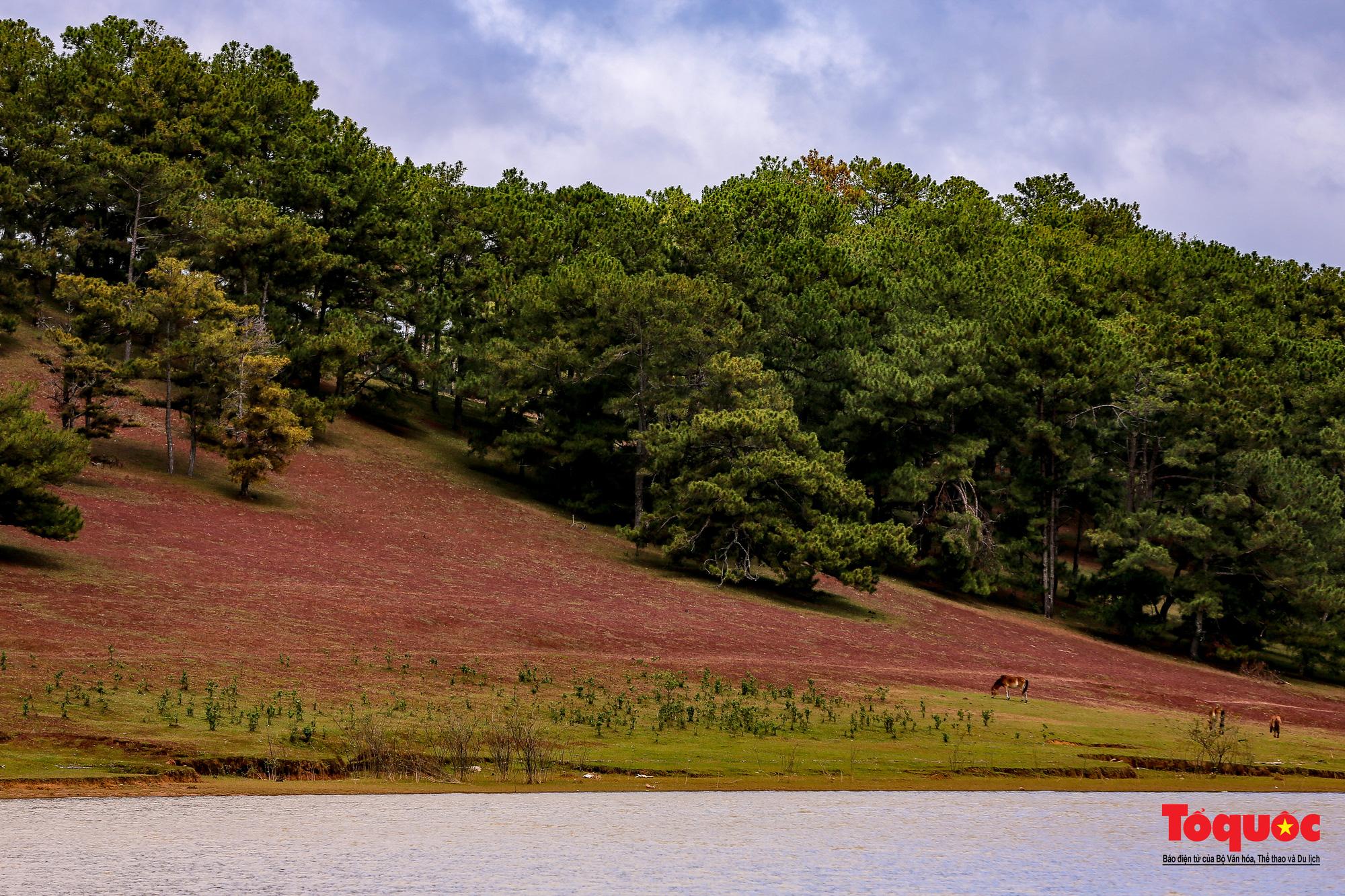 """Đồi cỏ hồng ở Đà Lạt đẹp như tranh sẽ khiến khách du lịch """"mê mẩn"""" - Ảnh 2."""