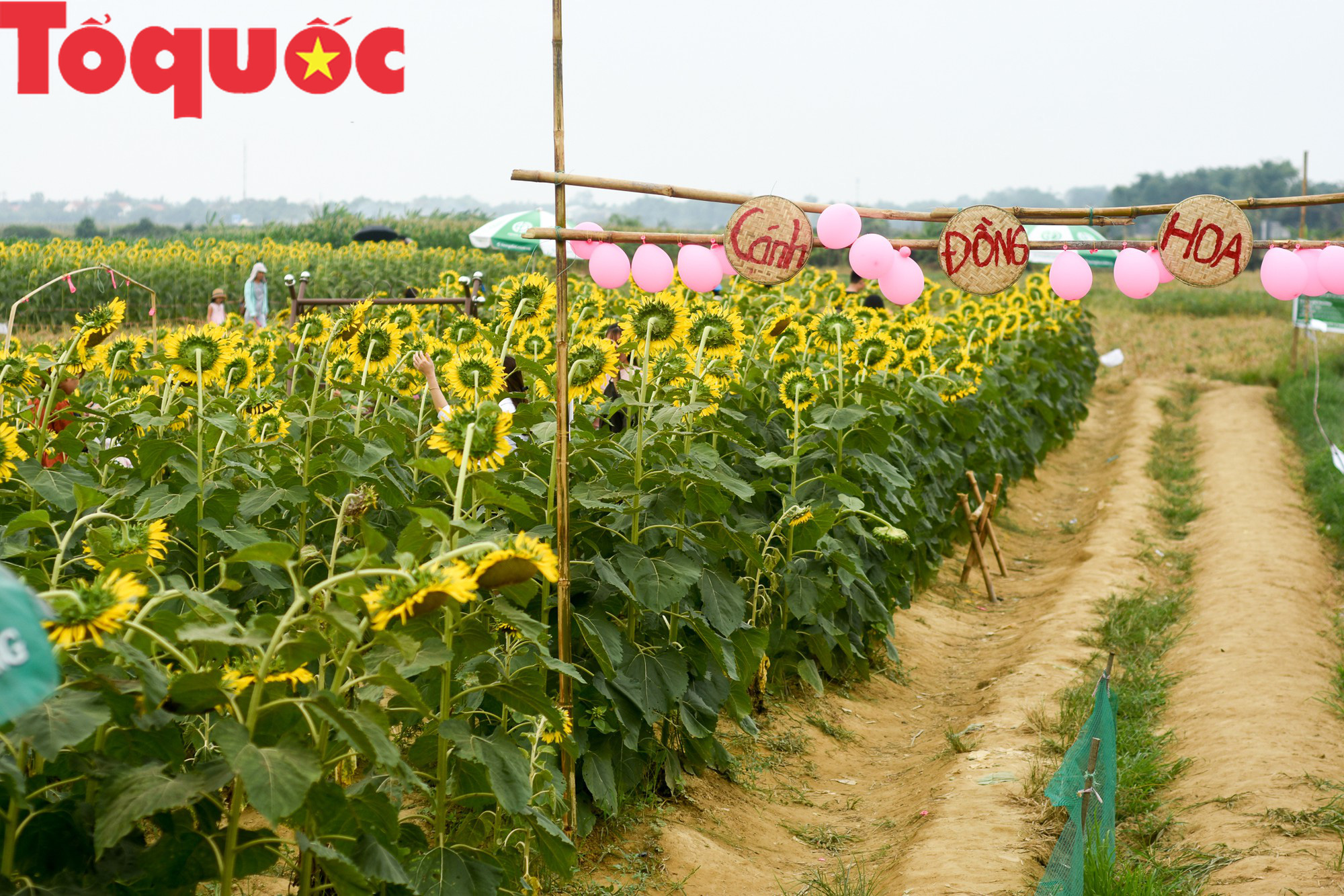 Hàng nghìn người đổ xô check in cánh đồng hoa hướng dương tại Huế - Ảnh 1.
