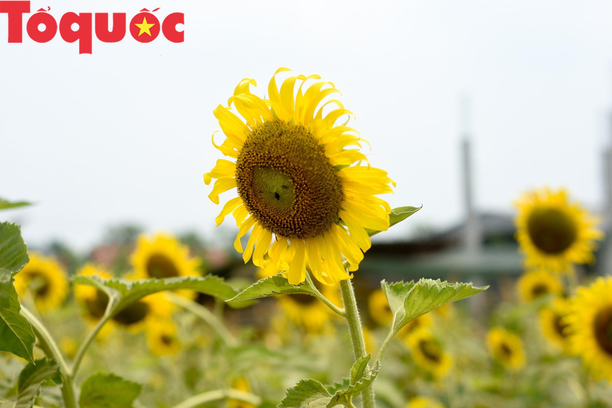 Hàng nghìn người đổ xô check in cánh đồng hoa hướng dương tại Huế - Ảnh 4.