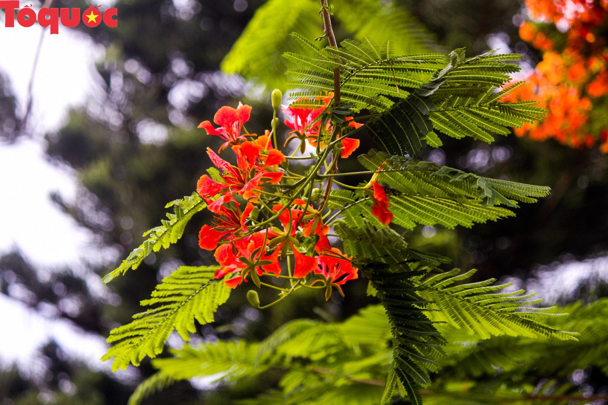 Đất trời xứ Huế đẹp rực rỡ trong mùa phượng vĩ nở hoa - Ảnh 7.
