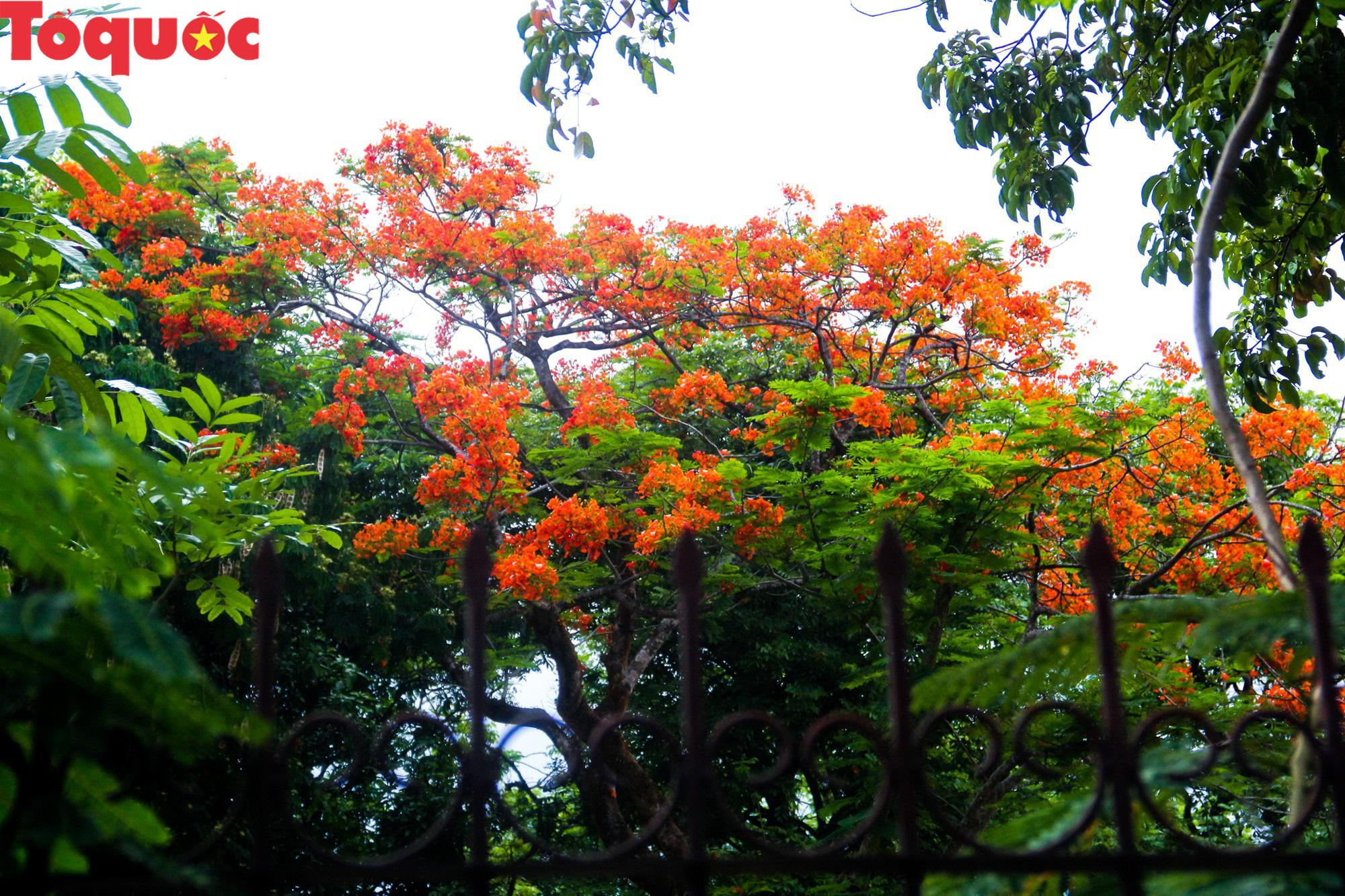 Đất trời xứ Huế đẹp rực rỡ trong mùa phượng vĩ nở hoa - Ảnh 5.