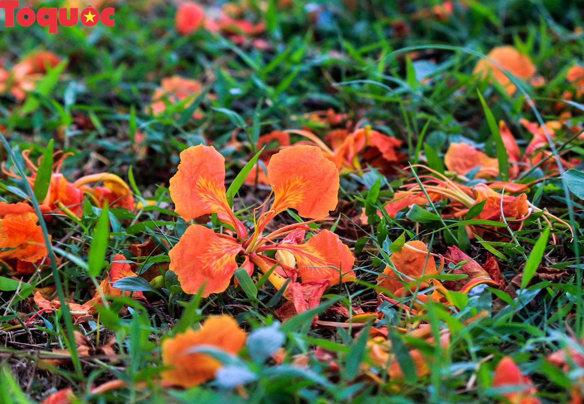 Đất trời xứ Huế đẹp rực rỡ trong mùa phượng vĩ nở hoa - Ảnh 8.