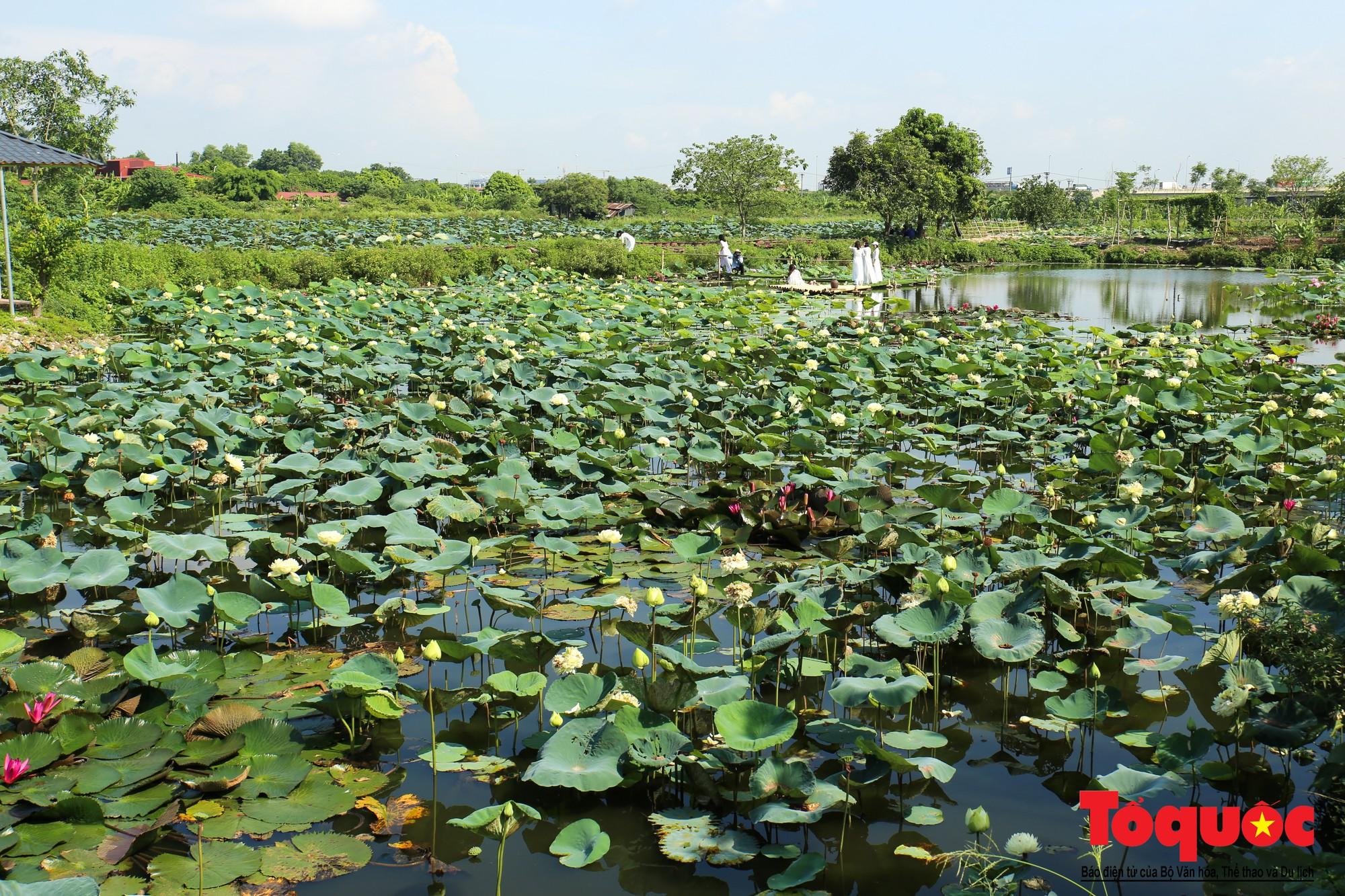 Mục sở thị nơi bảo tồn 40 loài sen quý  (1)
