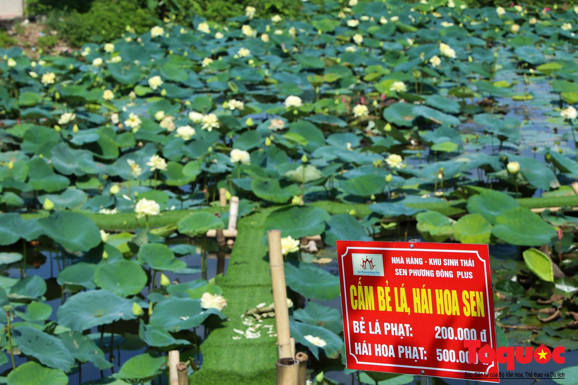 Mục sở thị nơi bảo tồn 40 loài sen quý  (4)
