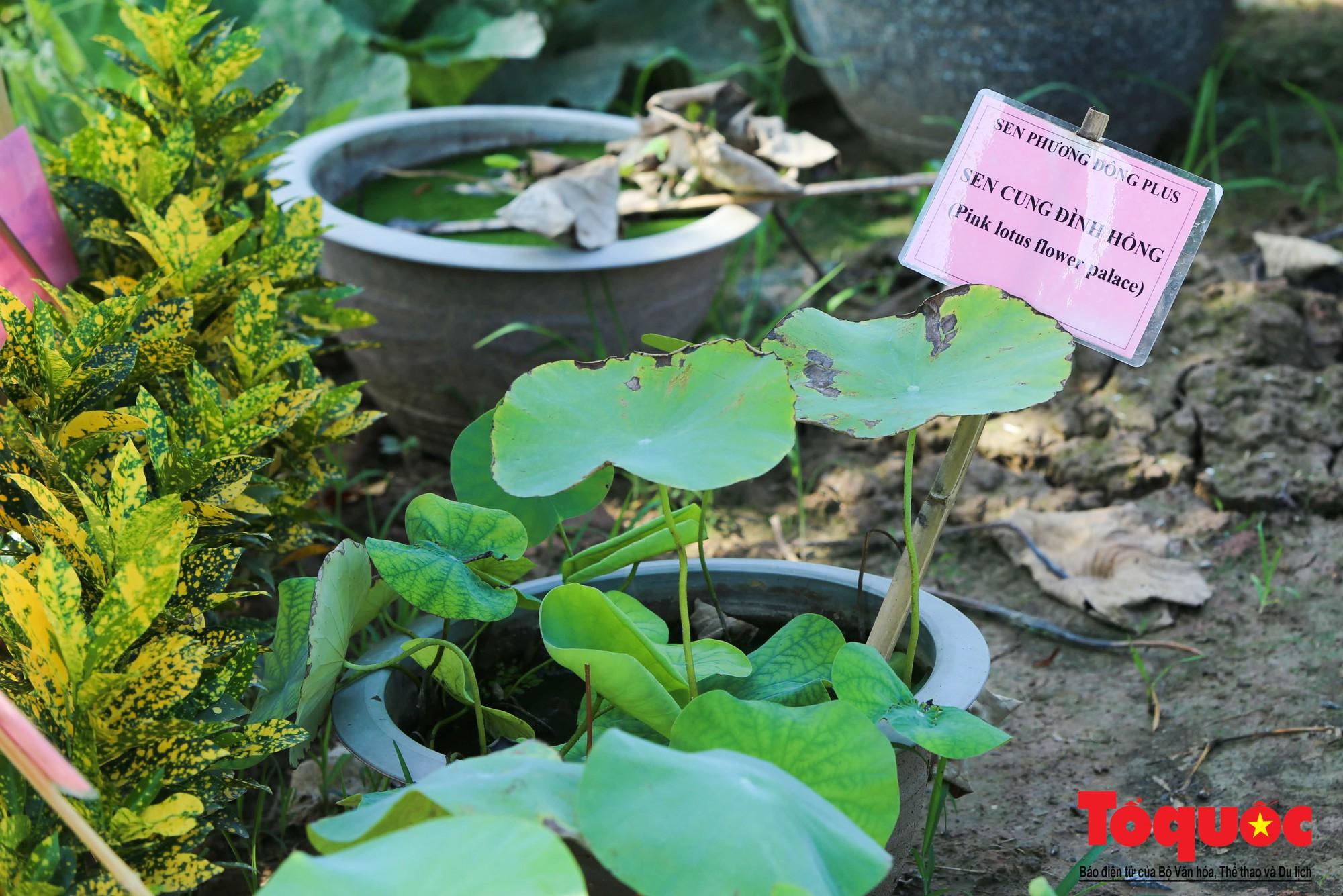 Mục sở thị nơi bảo tồn 40 loài sen quý  (5)
