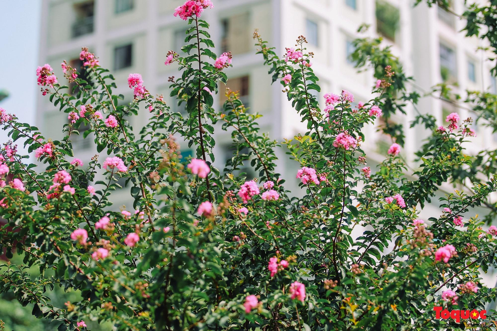 Ngắm con đường hoa tường vi dài cả cây số ở Hà Nội (14)