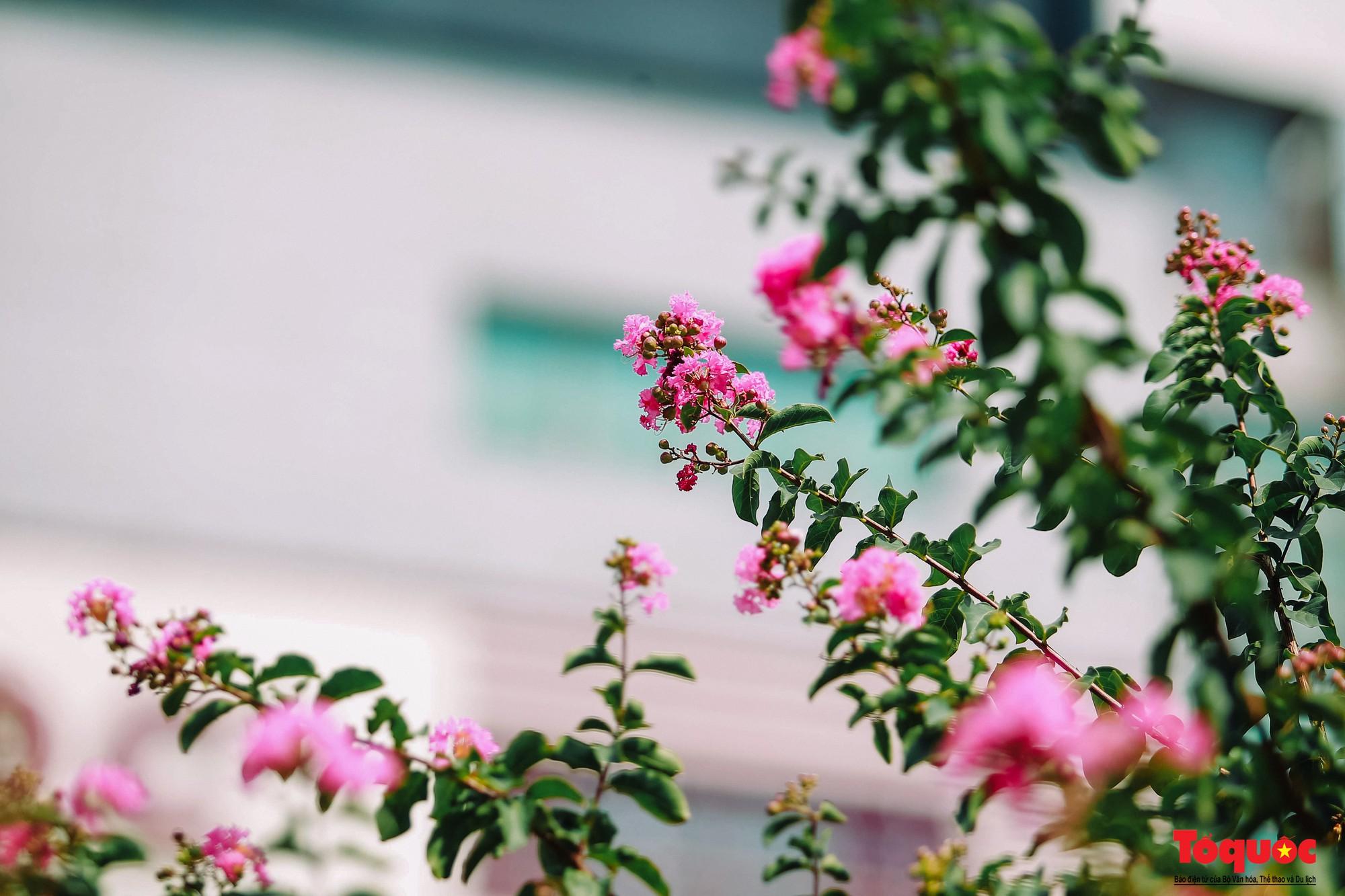 Ngắm con đường hoa tường vi dài cả cây số ở Hà Nội (15)
