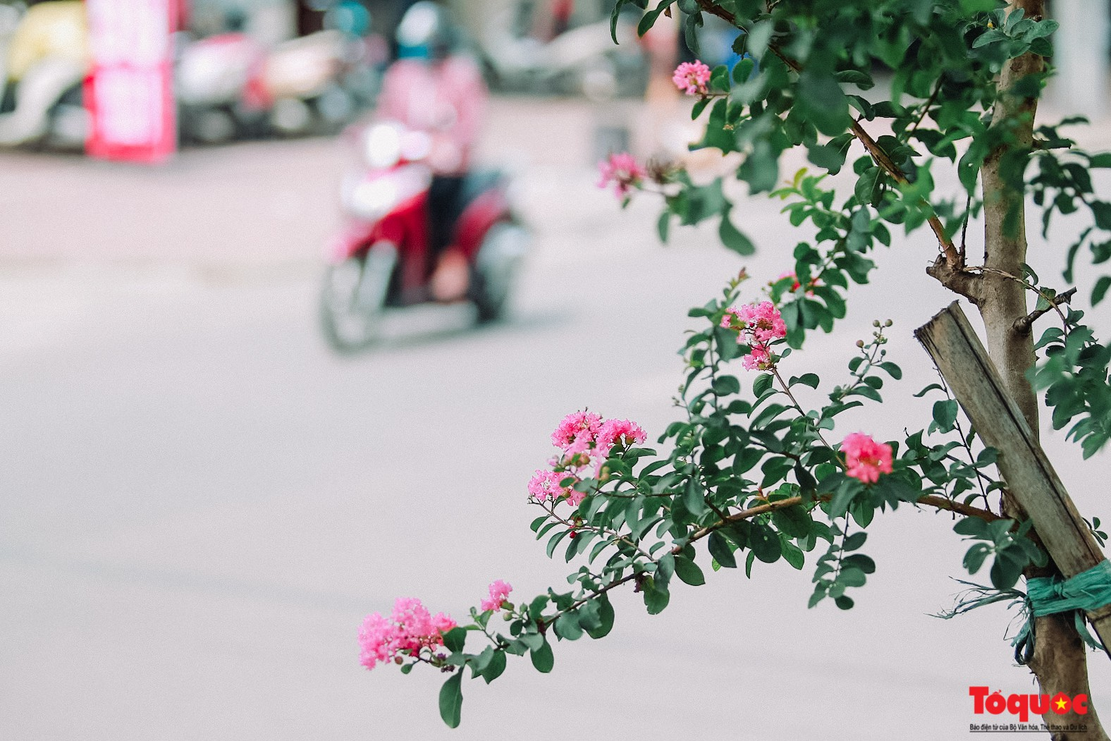Ngắm con đường hoa tường vi dài cả cây số ở Hà Nội (2)