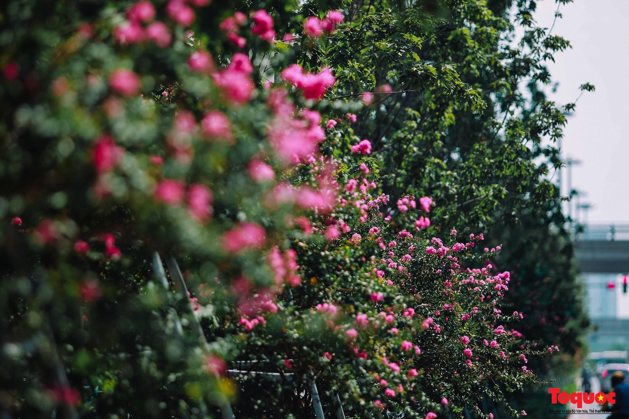 Ngắm con đường hoa tường vi dài cả cây số ở Hà Nội (21)