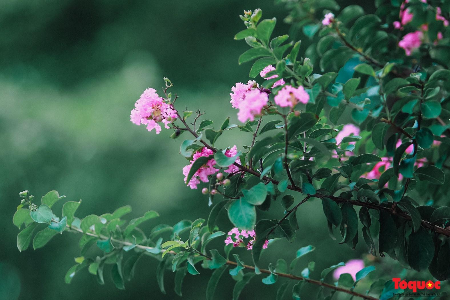 Ngắm con đường hoa tường vi dài cả cây số ở Hà Nội (5)