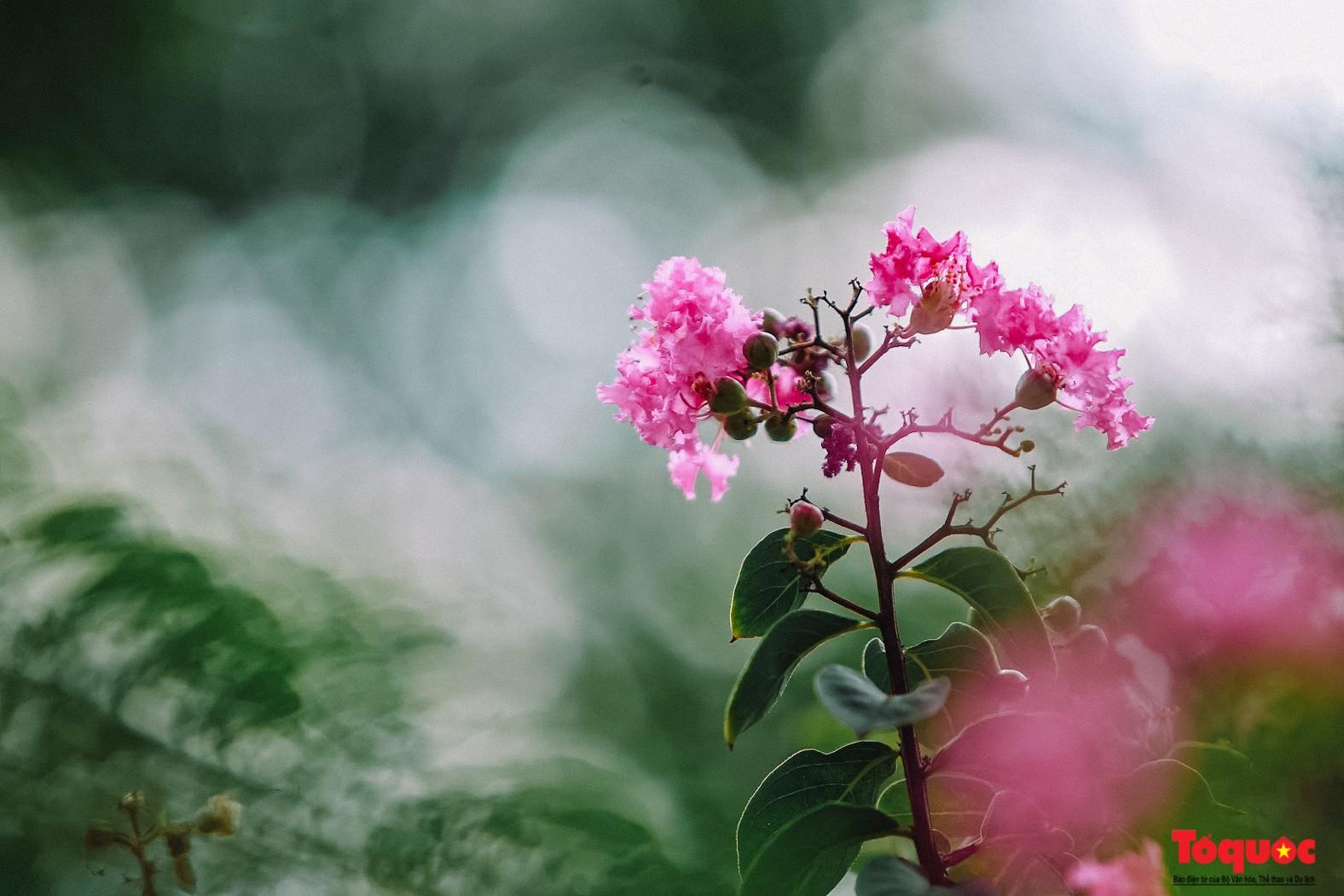 Ngắm con đường hoa tường vi dài cả cây số ở Hà Nội (6)