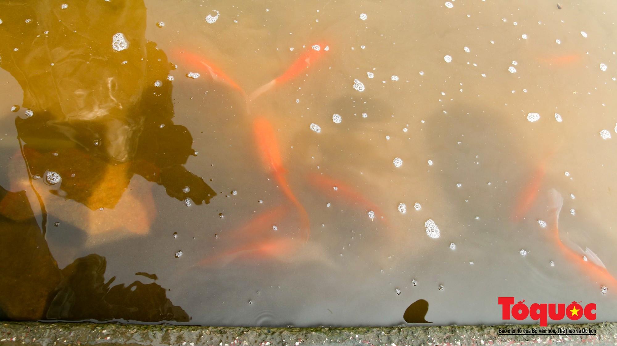 Hà Nội Thả thử nghiệm gần 100 con cá Koi Nhật Bản xuống sông tô lịch và Hồ Tây (1)