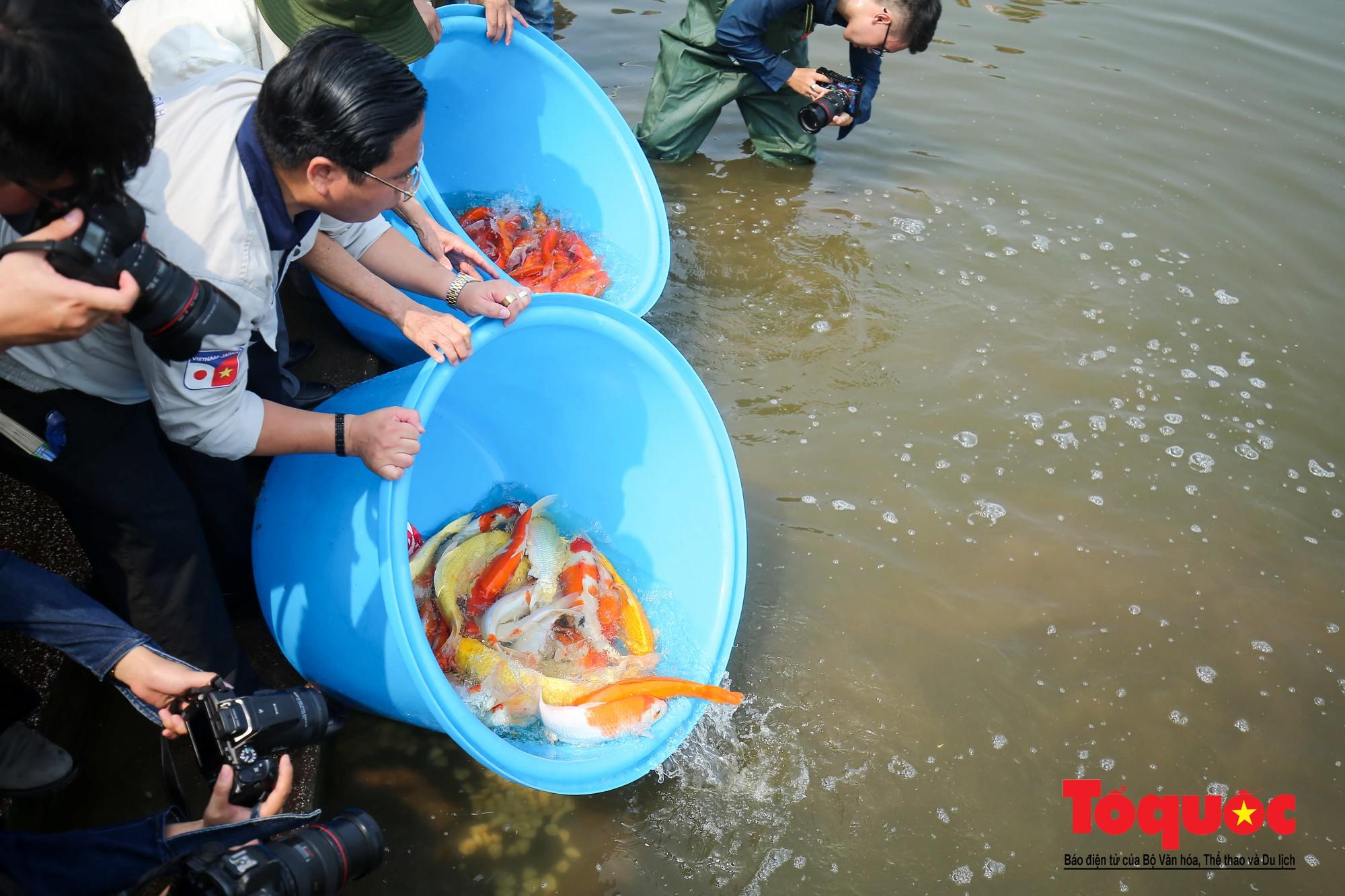 Hà Nội Thả thử nghiệm gần 100 con cá Koi Nhật Bản xuống sông tô lịch và Hồ Tây (13)