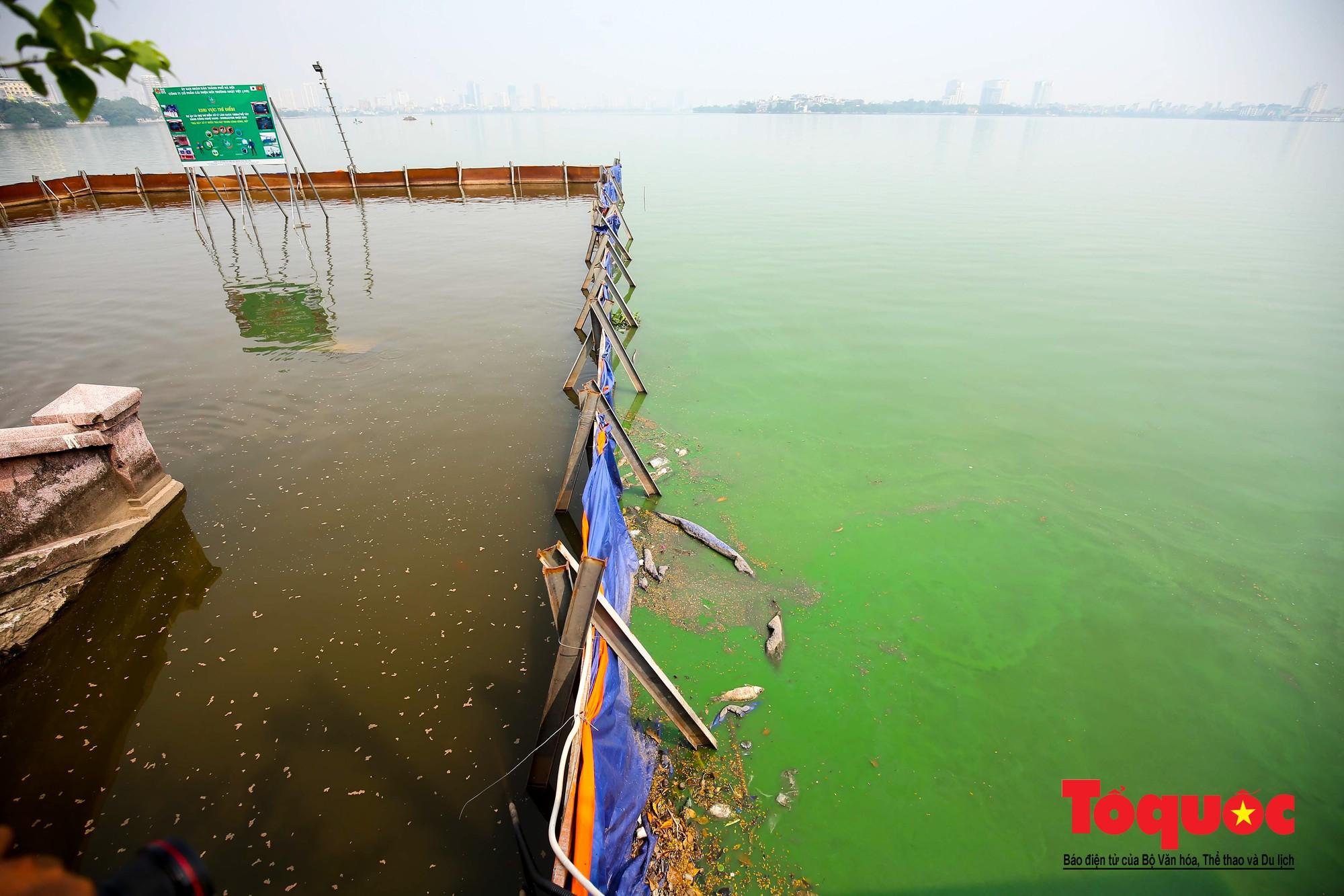 Hà Nội Thả thử nghiệm gần 100 con cá Koi Nhật Bản xuống sông tô lịch và Hồ Tây (14)