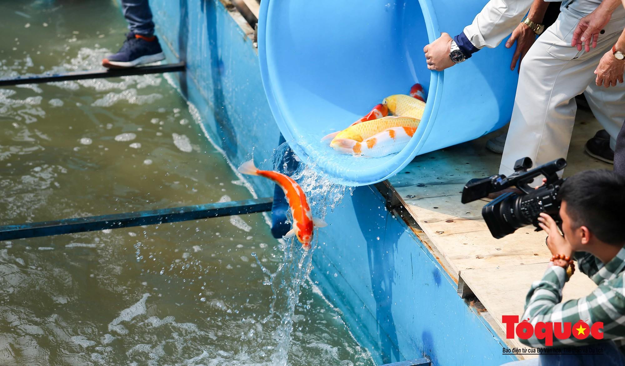 Hà Nội Thả thử nghiệm gần 100 con cá Koi Nhật Bản xuống sông tô lịch và Hồ Tây (5)