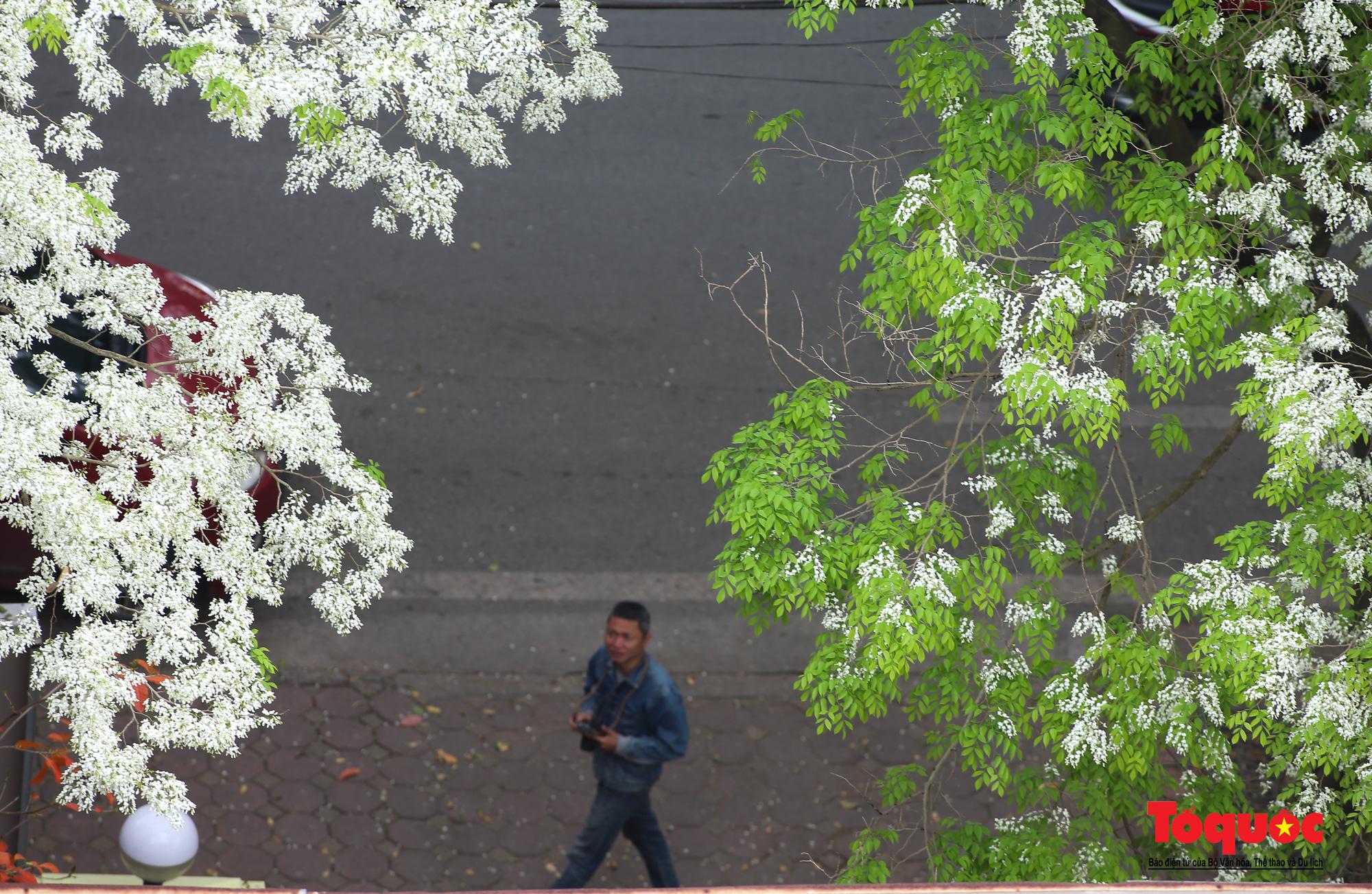 Hà Nội: Tháng ba bất chợt một ngày, trắng tinh hoa Sưa về đây - Ảnh 9.