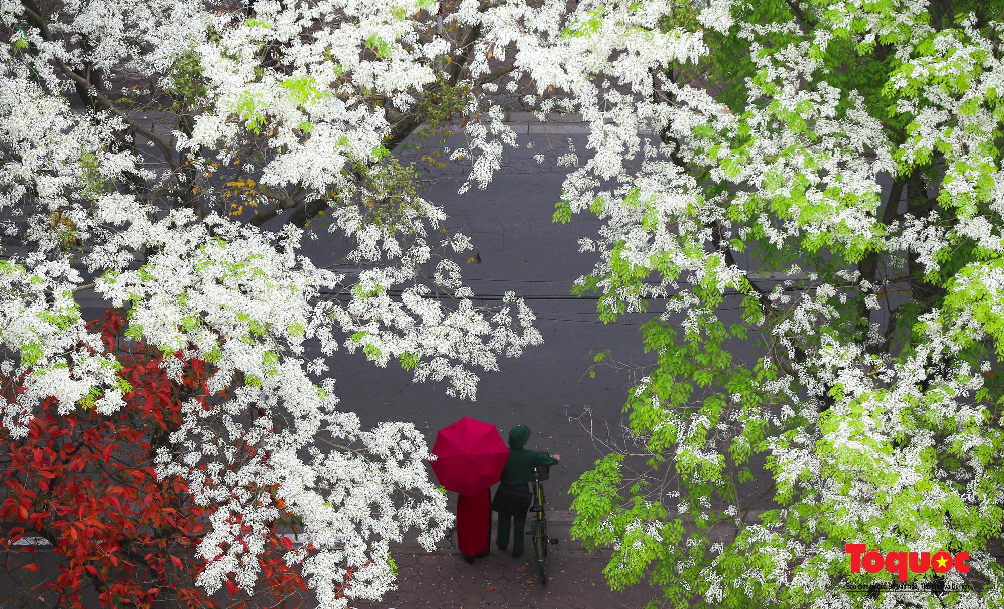 Hà Nội: Tháng ba bất chợt một ngày, trắng tinh hoa Sưa về đây - Ảnh 7.