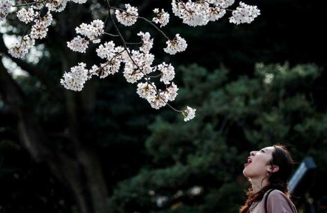 Nhật Bản rộn ràng đón hoa anh đào bất chấp Covid-19 - Ảnh 2.