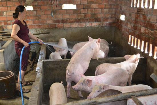 Sớm đảm bảo nguồn cung thịt lợn đáp ứng đủ nhu cầu trong nước  - Ảnh 1.