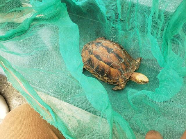 Người dân mua lại rùa hộp trán vàng cực hiếm để bàn giao cơ quan chức năng - Ảnh 1.