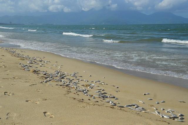 Cá chết dạt vào biển Đà Nẵng không liên quan tới ô nhiễm - Ảnh 3.