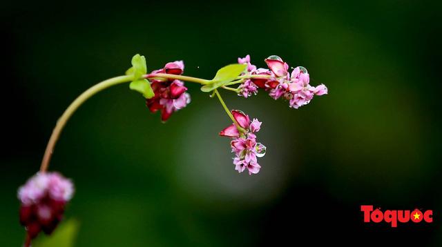 Hà Giang: Tam giác mạch bung nở rực rỡ sẵn sàng cho mùa Lễ hội hoa lớn nhất trong năm  - Ảnh 15.