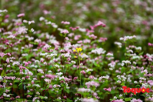 Hà Giang: Tam giác mạch bung nở rực rỡ sẵn sàng cho mùa Lễ hội hoa lớn nhất trong năm  - Ảnh 13.