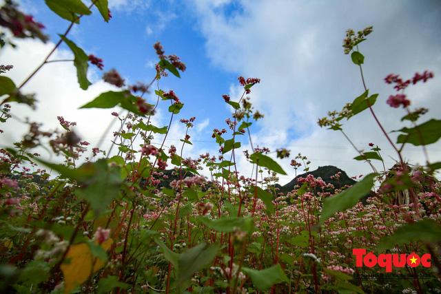 Hà Giang: Tam giác mạch bung nở rực rỡ sẵn sàng cho mùa Lễ hội hoa lớn nhất trong năm  - Ảnh 12.