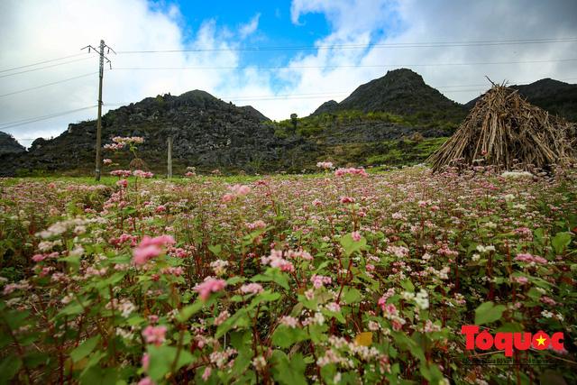 Hà Giang: Tam giác mạch bung nở rực rỡ sẵn sàng cho mùa Lễ hội hoa lớn nhất trong năm  - Ảnh 8.