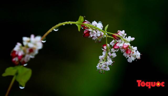 Hà Giang: Tam giác mạch bung nở rực rỡ sẵn sàng cho mùa Lễ hội hoa lớn nhất trong năm  - Ảnh 7.