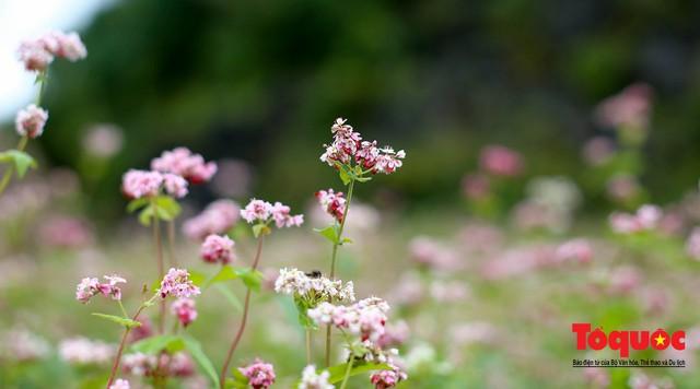 Hà Giang: Tam giác mạch bung nở rực rỡ sẵn sàng cho mùa Lễ hội hoa lớn nhất trong năm  - Ảnh 3.