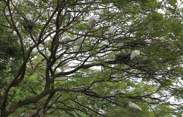 Hấp dẫn điểm đến vườn cò Bằng Lăng – Cần Thơ - Ảnh 17.