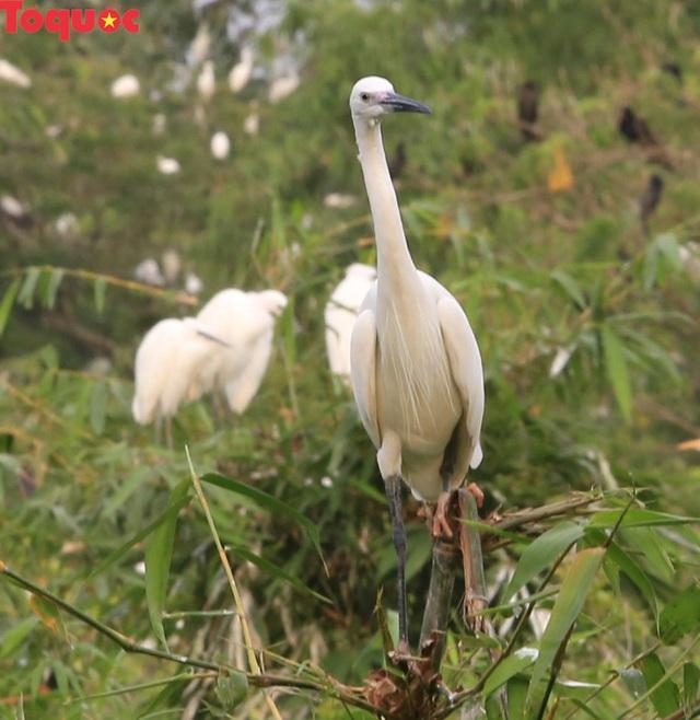 Hấp dẫn điểm đến vườn cò Bằng Lăng – Cần Thơ - Ảnh 5.