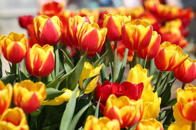 Lễ hội hoa tulip lớn nhất Việt Nam tại Sun World Ba Na Hills - Ảnh 2.