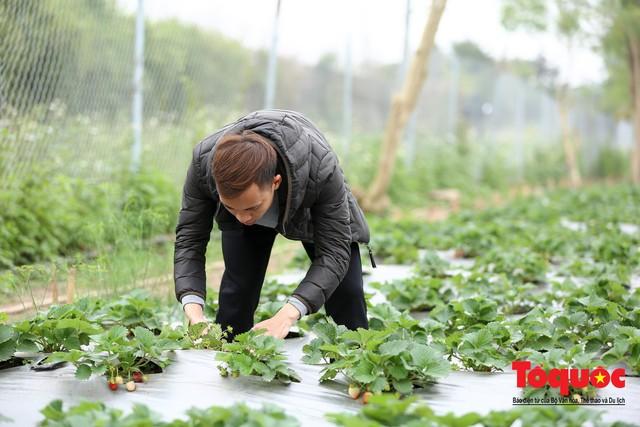 Khám phá vườn dâu tây đầu tiên ở Hà Nội - Ảnh 9.