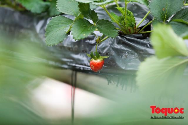 Khám phá vườn dâu tây đầu tiên ở Hà Nội - Ảnh 8.