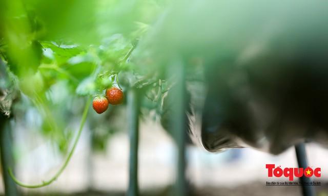 Khám phá vườn dâu tây đầu tiên ở Hà Nội - Ảnh 13.