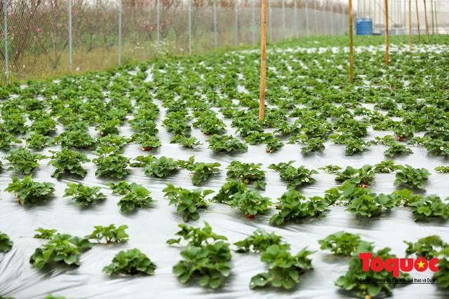 Khám phá vườn dâu tây đầu tiên ở Hà Nội - Ảnh 7.