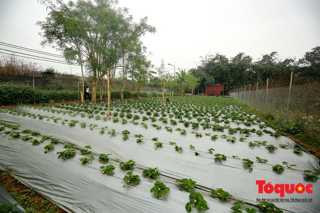 Khám phá vườn dâu tây đầu tiên ở Hà Nội - Ảnh 1.
