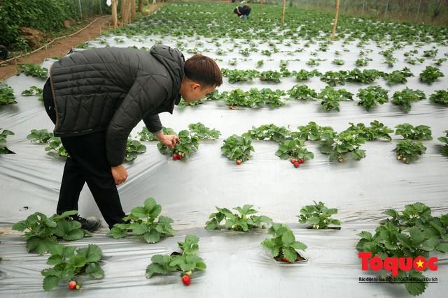 Khám phá vườn dâu tây đầu tiên ở Hà Nội - Ảnh 6.