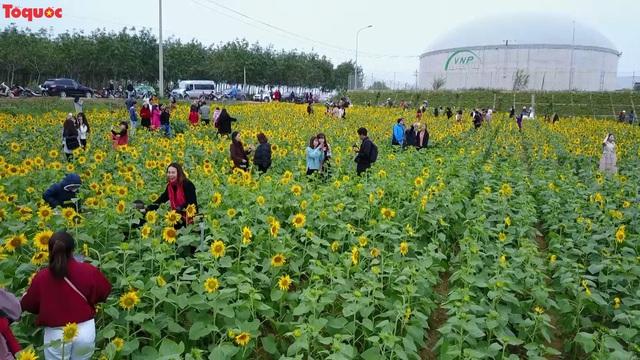 Hàng ngàn lượt khách check-in cánh đồng hoa hướng dương rực rỡ ở Quảng Bình  - Ảnh 1.