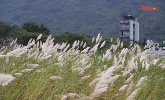 Mê mẩn mùa lau trắng ở Đà Nẵng  - Ảnh 1.