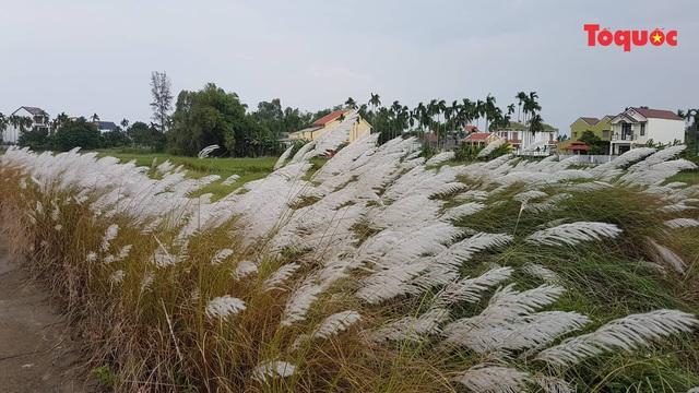Mê mẩn mùa lau trắng ở Đà Nẵng  - Ảnh 13.