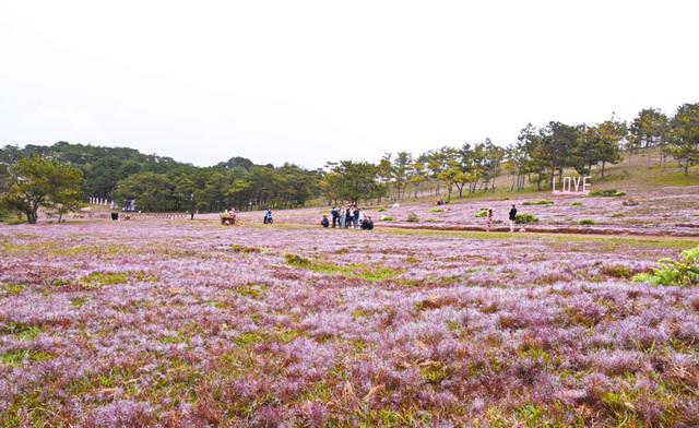 """Khám phá """"thiên đường cỏ hoa"""" lãng mạn trên đồi cỏ hồng - Ảnh 1."""